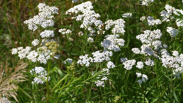 bílé květinky