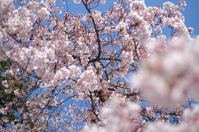 květy sakury