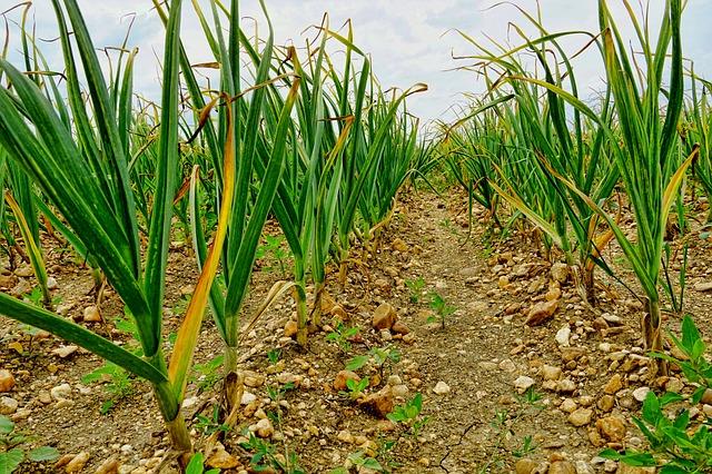 česnek a pěstování